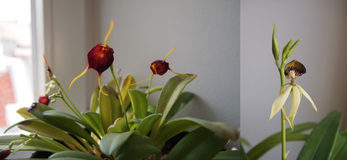 Left: Masdevallia scitula, right: Encyclia cochleata