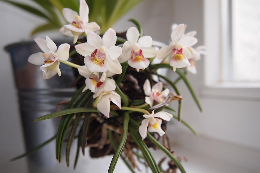 Holcoglossom flavescens, an endemic orchid of Yunnan, China.
