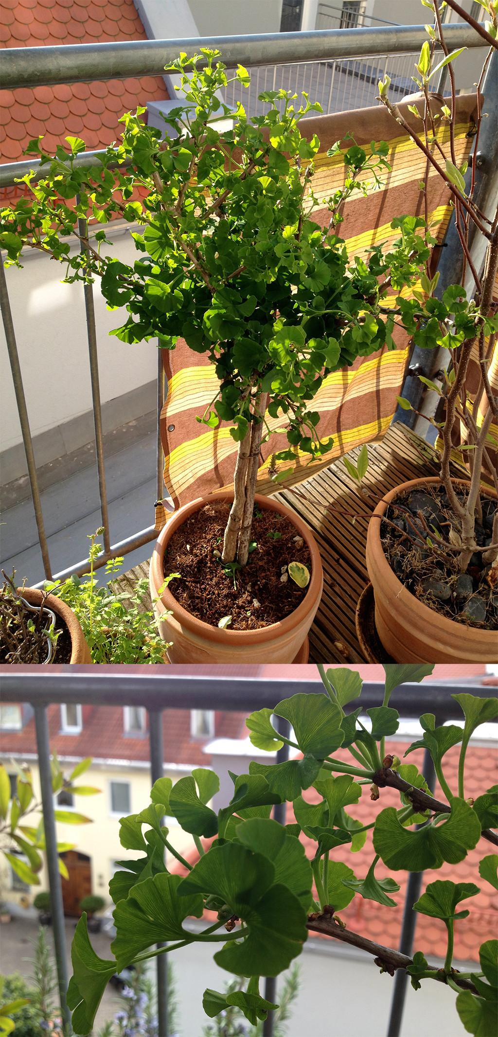 Ginkgobaum und Eulen am Balkon? Noch mehr Alter und Weisheit wäre schwer auszuhalten!