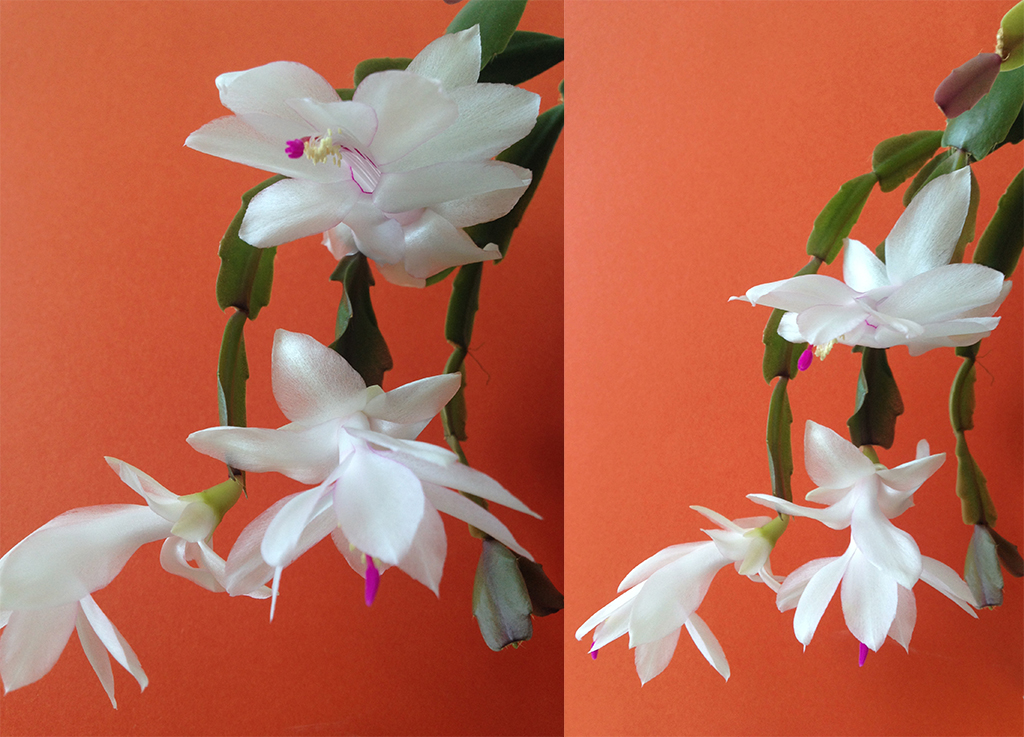 white Schlumbergera flowers bring joy into the gray day at the office!