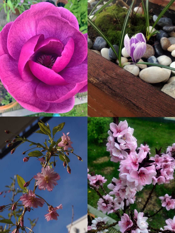 "Joint flower power (ltr, ttb): Magnolia ""Black Tulip"", Crocus, Cherry ""Fukubana"", Peach"
